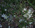 N20190219-0016—Triteleia hyacinthina—RPBG (16648570395).jpg