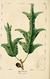 NAS-023 Quercus falcata.png