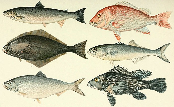 NIE 1905 Fish as Food - American food-fishes.jpg