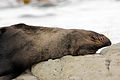NZ Fur Seal - 1231 2013 009 (14184203501).jpg