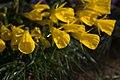 Narcissus bulbocodium ssp obesus 001 GotBot 2016.jpg