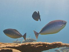 Sleek Unicornfish (Naso hexacanthus)