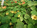 Nasturtium from lalbagh 2114.JPG