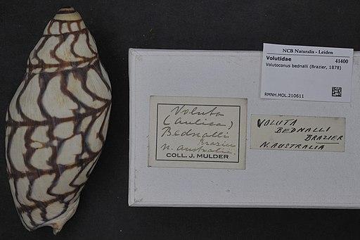 Naturalis Biodiversity Center - RMNH.MOL.210611 - Volutoconus bednalli (Brazier, 1878) - Volutidae - Mollusc shell