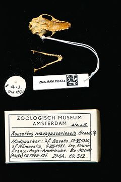 240px naturalis biodiversity center   zma.mam.19312.a pal   rousettus madagascariensis   skull