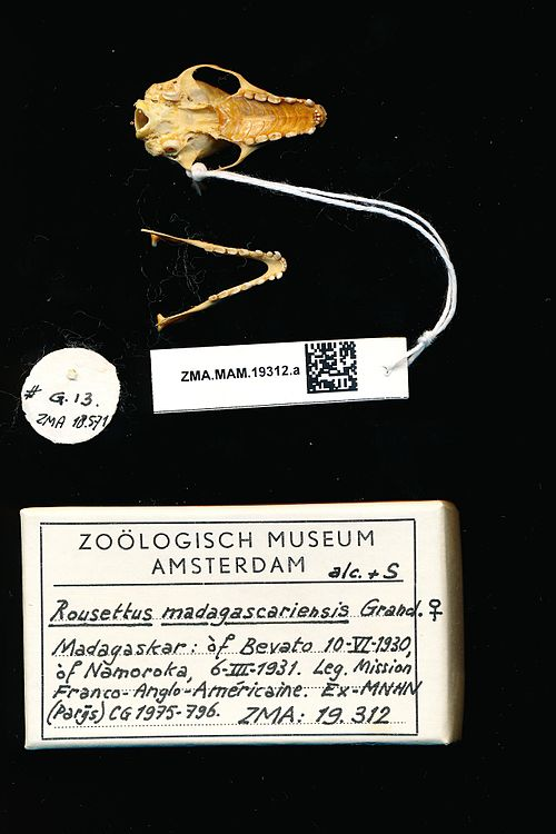 500px naturalis biodiversity center   zma.mam.19312.a pal   rousettus madagascariensis   skull