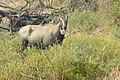 Neelgai Boselaphus tragocamelus by Dr. Raju Kasambe DSCN7671 (2).jpg