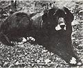 Nell Labrador.jpg