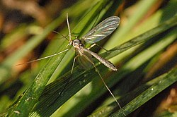 meaning of mycetophilidae