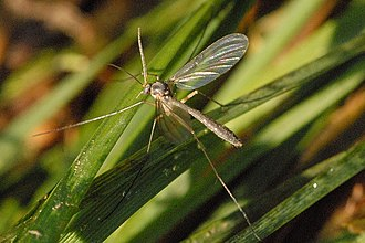 Mycetophilidae - Image: Neoempheria.pictipen nis
