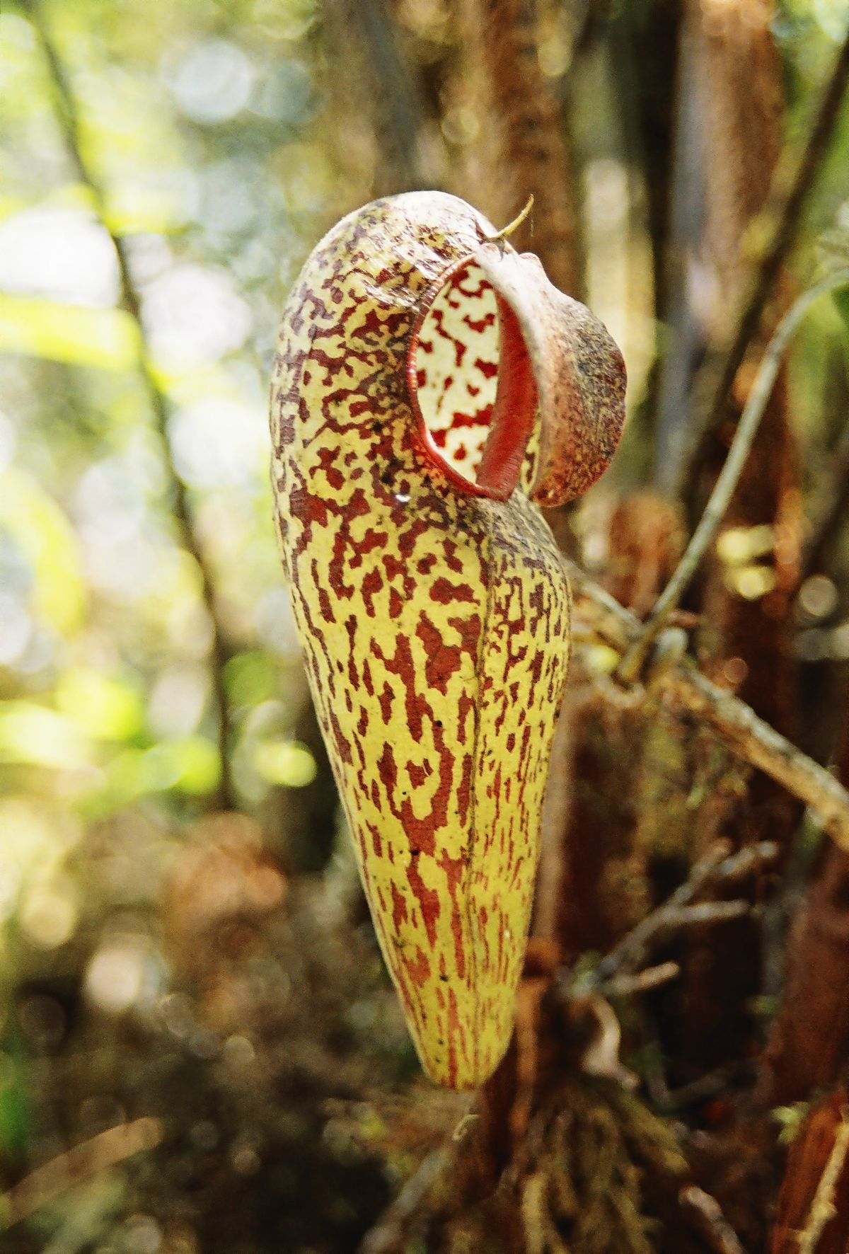 Nepenthes aristolochio...