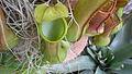 Nepenthes burkei USBG 2.JPG