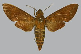 Nephele maculosa BMNHE813190 female up.jpg