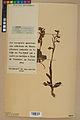 Neuchâtel Herbarium - Ophrys sphegodes - NEU000047883.jpg