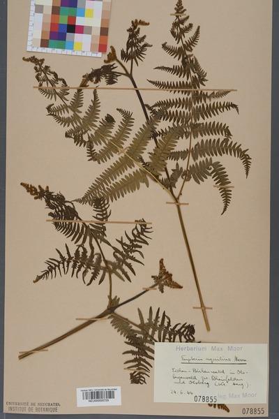 File:Neuchâtel Herbarium - Pteridium aquilinum - NEU000000729.tiff
