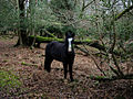 New Forest pony - geograph.org.uk - 1039658.jpg