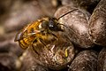 Newly Hatched Red Mason Bee on Cocoons.jpg