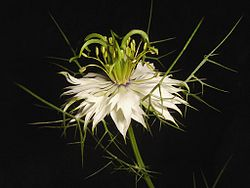 Nigella damascena-white2.jpg