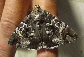 <i>Tolna</i> (moth) genus of insects