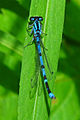 Northern Bluet, male.jpg