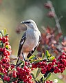 Northern Mockingbird (38542485241).jpg
