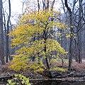 Norway Maple (31272048526).jpg