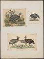 Numida meleagris - 1700-1880 - Print - Iconographia Zoologica - Special Collections University of Amsterdam - UBA01 IZ16900330.tif