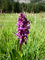 ORCHIS MAJALIS - ESTANA - IB-583 (Orquídia latifolia).JPG