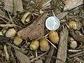 Oak Acorn P8260009.jpg