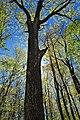 Oak Canopy (2) (8708403874).jpg