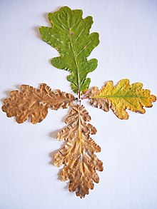 Laub Botanik Wikipedia