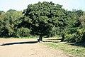 Oak tree off Cowhorn Hill - geograph.org.uk - 556041.jpg
