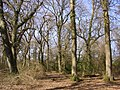 Oaks at Pig Bush, New Forest - geograph.org.uk - 140364.jpg