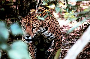 North American jaguar - A jaguar in Belize, Central America