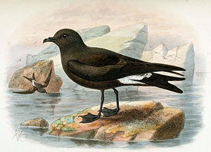 Guadalupe storm petrel - Illustration from 1907