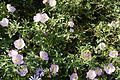 Oenothera speciosa 2 2016-05-12.jpg