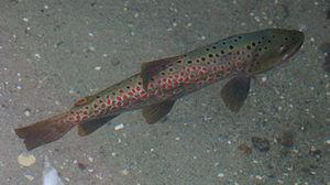 Ohrid trout - Image: Ohridforelle 1