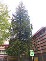 Old tree pr. Peremohy 125 (May 2019) 2.jpg