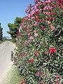 Oleander flowers. Route D85, near the Petit Rhône, Camargue, France. - panoramio (1).jpg