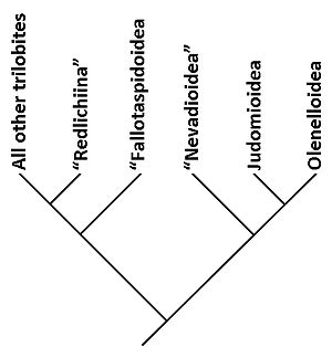 Olenellina - Graphic of the relationship between the superfamilies within the Olenellina, and with other trilobites