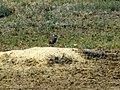 One of the burrowing owls that lives in prairie dog dens - panoramio.jpg