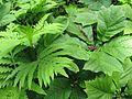 Onoclea sensibilis ^ Rodgersia podophylla - Flickr - peganum.jpg