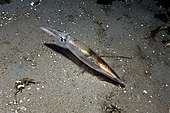 Opalescent inshore squid.jpg