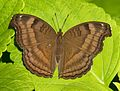 Open wing position of Junonia iphita Cramer, 1779 – Chocolate Pansy-Brown Butterfly (8033897055).jpg