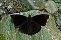 Open wing position of Rohana parisatis Westwood, 1850 – Black Prince WLB DSC 8683 .jpg