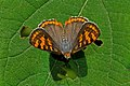 Open wing position of Spindasis vulcanus Fabricius, 1775 – Common Silverline WLB DSC 3570.jpg