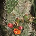 Opuntia soederstromiana-IMG 8848.JPG
