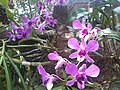 Orchid - panoramio (19).jpg