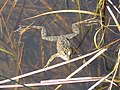 Oregon Spotted Frog (Rana pretiosa) (8895523540).jpg