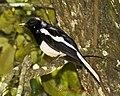 Oriental Magpie Robin (7141668291).jpg